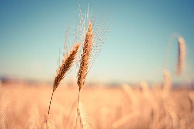 wheat-865152_640